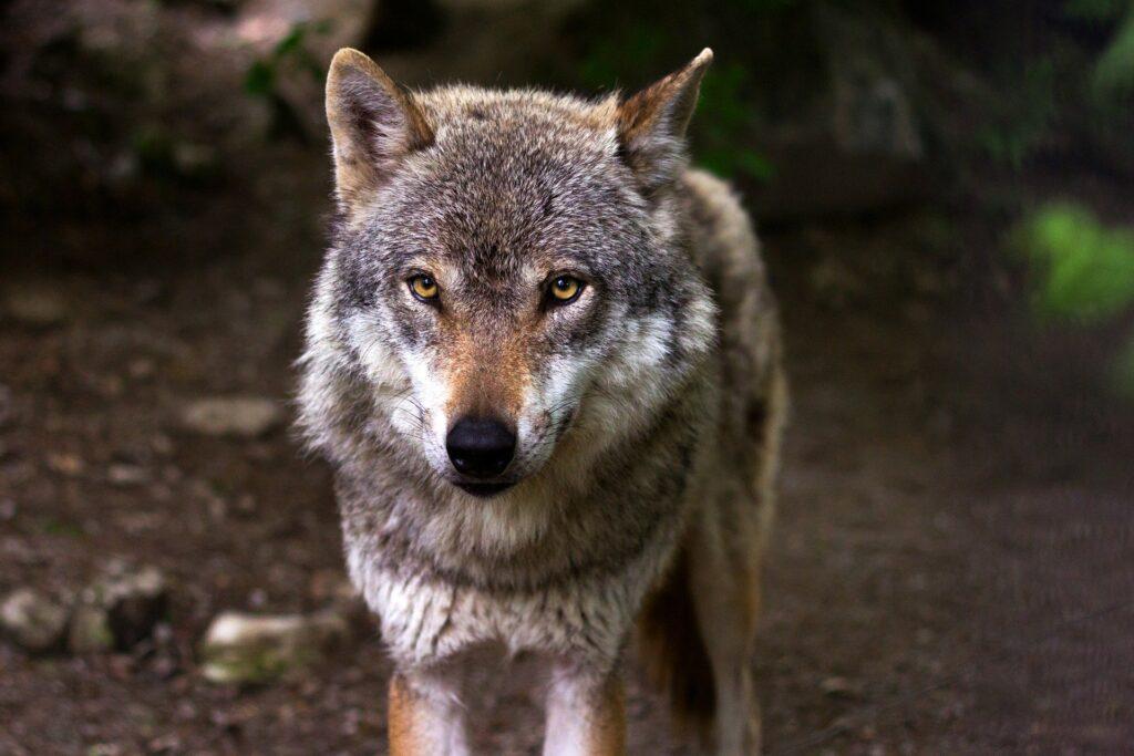Wolfswurz