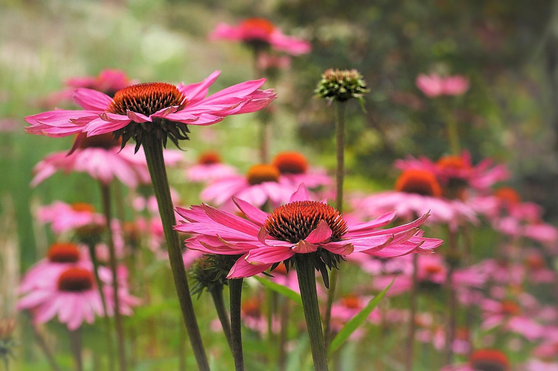 Hat Echinacea paradoxa eine heilende Wirkung?
